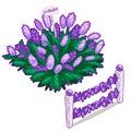 Shrub beautiful lavender and lavender fence
