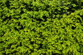 The shrub with dense green leaves Royalty Free Stock Photo