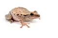 Shrub frog moss polypedates leucomystax isolated on white background Royalty Free Stock Photos