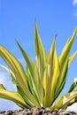 Shrub - Furcraea gigantean 'Striata' Royalty Free Stock Photo