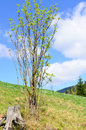 Shrub on a mountain slope with fresh young leaves growing against sunny blue sky Stock Photo