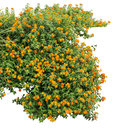 Shrub orange on white background Stock Images