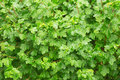Shrub in the rain photographed summer rainy day texture background Royalty Free Stock Image