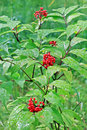 Shrub red Elderberry ( lat. Sambucus racemosa ) Royalty Free Stock Photo