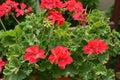 Shrub of Red Geranium Royalty Free Stock Photo
