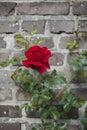 Shrub of rose on the brick wall background Stock Photo