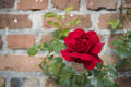 Shrub of rose on the brick wall background Royalty Free Stock Photography