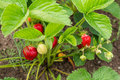 Shrub strawberries with red and green the Royalty Free Stock Image