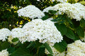 Shrub with white lush flowers - hydrangea. To park, garden Royalty Free Stock Photo