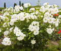 Shrub of white roses with many on sea coast Royalty Free Stock Image
