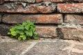 Shrubs survival of on the bricks Stock Image