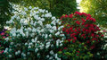 Shrubs with white and red azalea flowers.