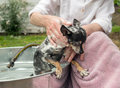 Shy black and white chihuahua being shampooed outdoors sweet older washed by loving owner Stock Photos