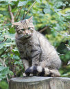 Shy european wildcat (Felis silvestris silvestris) Stock Photography
