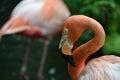 A shy flamingo