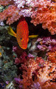 Shy grouper hiding on colorful red and purple soft coral Stock Photos
