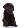 Shy labrador retriever puppy dog looking to its side Stock Image