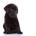 Shy labrador retriever puppy dog Royalty Free Stock Photo