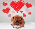 Shy love of a dog de bordeaux puppy Royalty Free Stock Photo