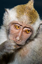 Shy Monkey Royalty Free Stock Image