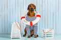 Shy Rhodesian Ridgeback dog-sailor with lifebuoy around neck Royalty Free Stock Photo