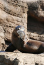 Shy Sea Lion Royalty Free Stock Photo