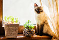 A shy siamese cat sitting on the window edge Royalty Free Stock Photo