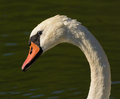 The shy Swan Royalty Free Stock Photo