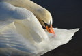Shy swan Royalty Free Stock Photo