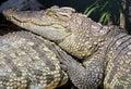 Siam crocodile 11 Royalty Free Stock Photo