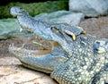 Siam Crocodile 9 Royalty Free Stock Photo