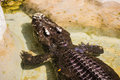 Siam crocodile in Bangkok Royalty Free Stock Photo