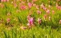 Siam tulip bloosom seasonal in thailand Royalty Free Stock Photo