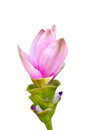 Siam tulip flower close up of isolated on white Royalty Free Stock Image