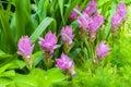 Siam Tulip Flower On Garden