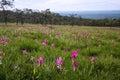 Siam tulip plant Royalty Free Stock Image
