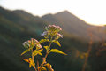 Siam weed sunset Royalty Free Stock Photo