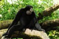 Siamang Gibbon Monkey Royalty Free Stock Photo