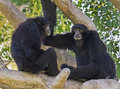 Siamang Gibbons Communicating Royalty Free Stock Photo