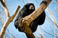 Siamang on a tree branch Royalty Free Stock Photos