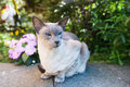 Siamese blue point cat outdoor in the garden Royalty Free Stock Photos