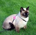 Siamés gato en verde hierba