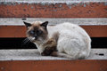 Siamese cat with blue eyes lying on the steps outside the house Royalty Free Stock Photos