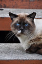 Siamese cat with blue eyes lying on the steps outside the house Royalty Free Stock Photo