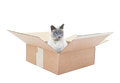 Siamese Cat in a Box Stock Images