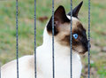 Siamese cat in a cage looking out through bars purebred oriental young from the metal of her with her deep crystal blue eyes Royalty Free Stock Image