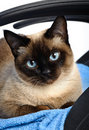 Siamese cat closeup Royalty Free Stock Photo