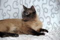 Siamese cat with crossed blue eyes Royalty Free Stock Photo