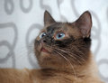 Siamese cat with crossed blue eyes Royalty Free Stock Photos