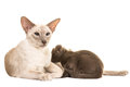 Siamese cat feeding her baby Royalty Free Stock Photo